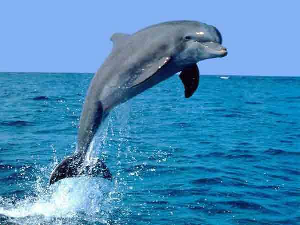 Ý nghĩa giấc mơ thấy cá heo