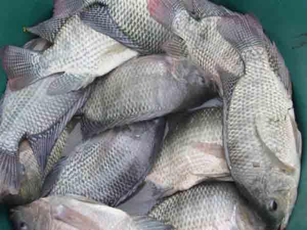 Nằm mơ thấy cá rô phi là điềm báo gì?